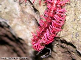 dragon-millipede