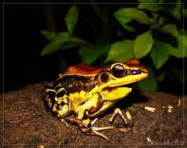 frog-westernghats
